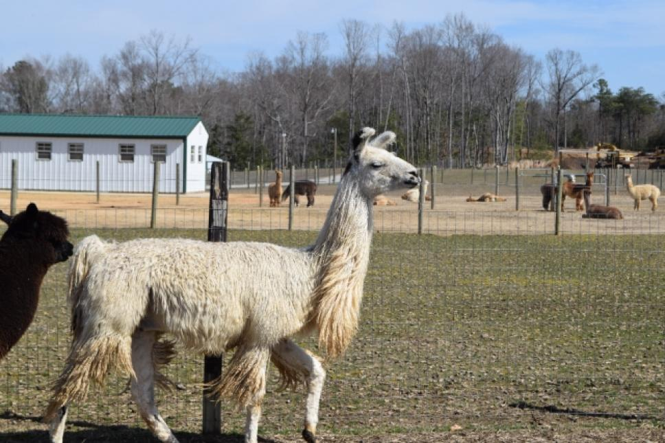 Ross, a llama, at Fox Wire Farm