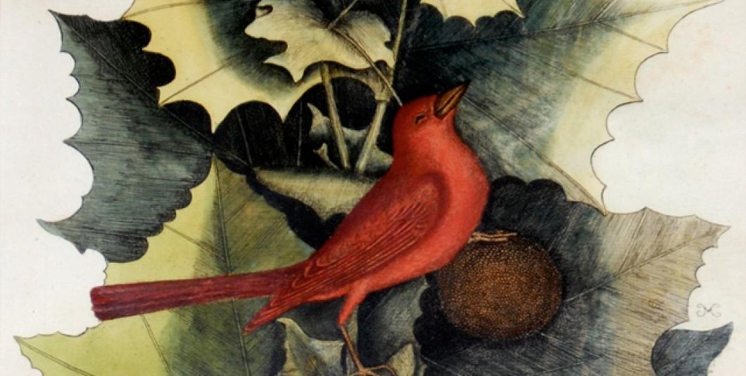 Sycamore and Summer Tanager, Mark Catesby, 18th century, hand-colored engraving. Courtesy of the Garden Club of Virginia.