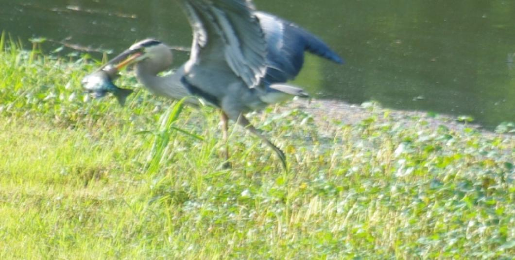 Heron with dinner