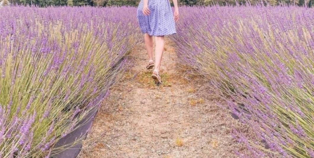 Walk among the rows of lavender at Sweethaven