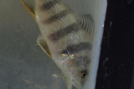 Black Drum and other fish are found along our shoreline