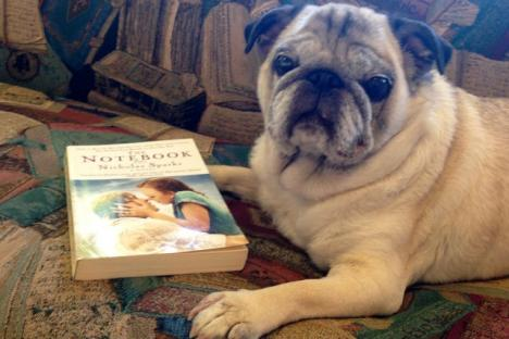 """June, our Book Pug enjoying a read on our """"book couch"""""""