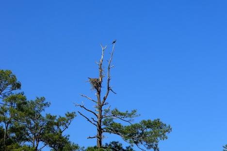 Osprey and nest on Queens Creek