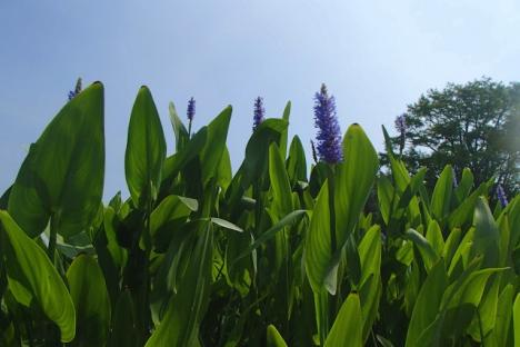 Pickerel Weed in bloom