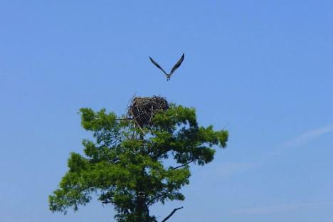 An Osprey takes flight over a majestic Bald Cypress