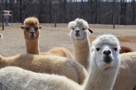 Alpacas at Fox Wire Farm