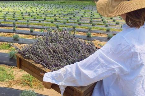 The first Sweethaven Lavender harvest
