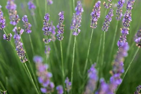 Sweethaven Lavender - Variety Lavandula x Intermedia