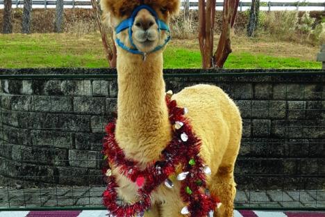Christmas in July Alpacas!