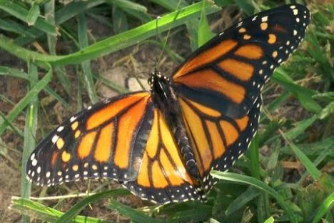 Embedded thumbnail for Butterfly Festival